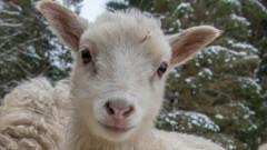 Драстично намалели овцете в България за последните 20 години