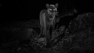 Мистерията около черния леопард, който не е сниман повече от век