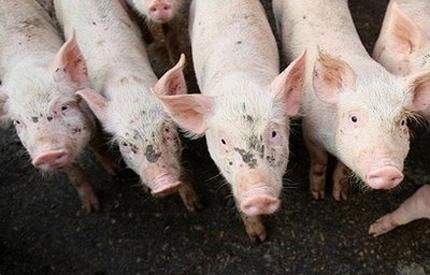 ДФЗ започва изплащането на субсидиите на животновъдите
