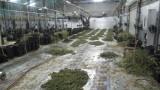 Разбиха лаборатория с марихуана за над 1 млн. лева в Русенско