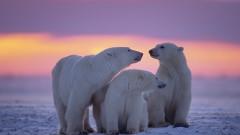 Белите мечки изчезват до 2100 г. заради климатичните промени