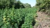 Откриха голяма нива с марихуана в Бургаско