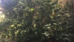 Хванаха инспектор от Агенцията по храните с 80 кг марихуана