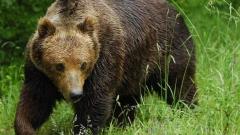 Кафява мечка рани двама насред град в Румъния