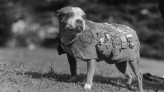 Стъби – най-награждаваното куче в първата световна война