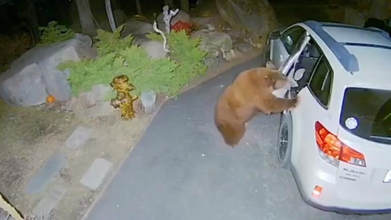 Мечка ловко отвори врата на кола и влезе в нея