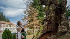 """Как български вековен дъб да стане """"Европейско дърво на годината"""""""