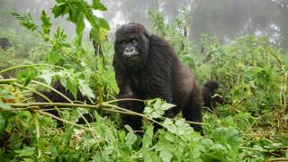Коронавирусът е заплаха за приматите, планинските горили в Африка са в риск