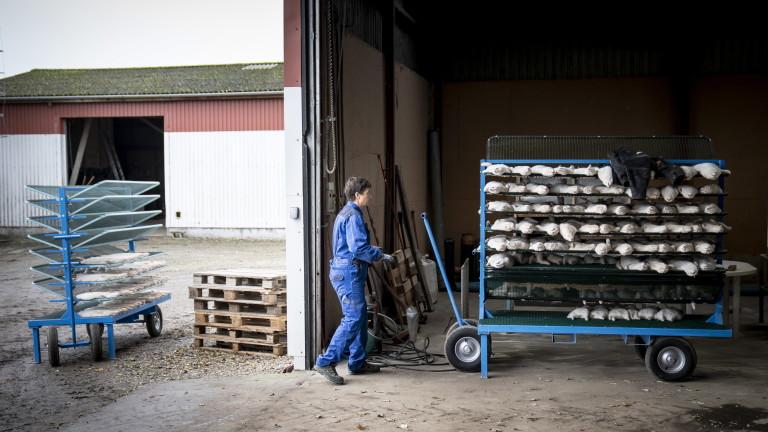 Дания ексхумира още избити заради коронавируса норки