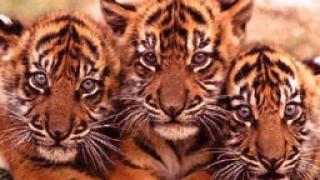 Тайландската полиция спаси 16 тигърчета от международни контрабандисти