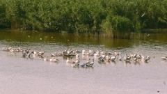 """Младите пеликанчета в """"Сребърна"""" тръгнаха на разходка"""