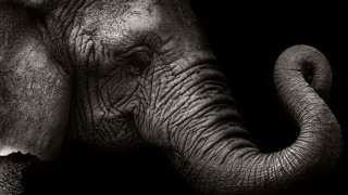 Явно и слоновете могат да смятат