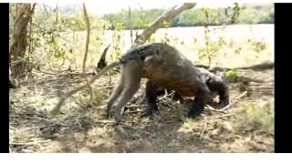 Комодски варан погълна цяла маймуна
