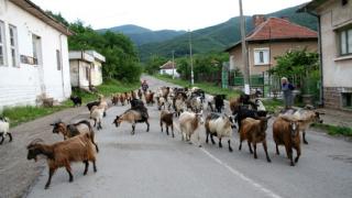 """Google нае стадо кози да """"косят"""" тревата им"""