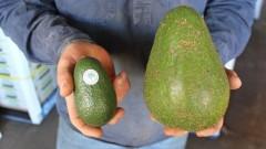 Авозилата атакува авокадото