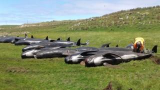 Още 51 кита гринди заседнаха и загинаха на плаж в Нова Зеландия
