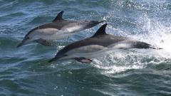 Назаконният улов с мрежи навътре в морето - основният бич за делфините по Черноморието