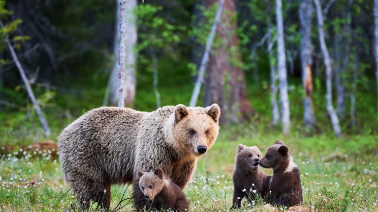 WWF започва дарителска кампания, посветена на кафявите мечки в България