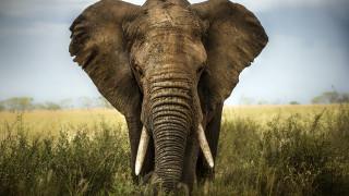 Защо слоновете не се разболяват от рак