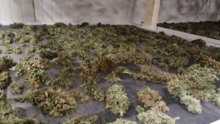 Спипаха двама, отглеждали марихуана на таван в бивше училище