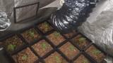Задържаха 21-годишен варненец за отглеждане на марихуана