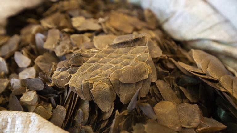 В нелегално пренесени панголини, люспести бозайници, са открити вируси, които