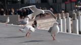 20% от австралийските чайки пренасят устойчиви на антибиотици супербактерии