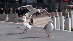 20% от австралийските чайки пренасят устойчиви на антибиотици буболечки и бактерии