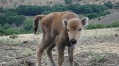 Зубърчето Марина вече се разхожда из Източните Родопи