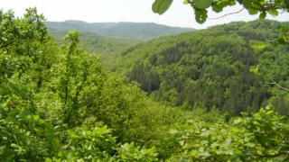 Агресивната фалопия японика застрашава буковите гори на Витоша