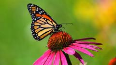Ще изчезнат ли и пеперудите монарх
