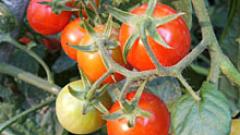 Учени преоткриват класическия български домат