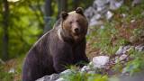 Първа кафява мечка от 150 години в национален парк в Северна Испания