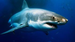 Акулите ли ще ни спасят от COVID-19