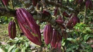 Най-големият производител на какао ще прави ток от него