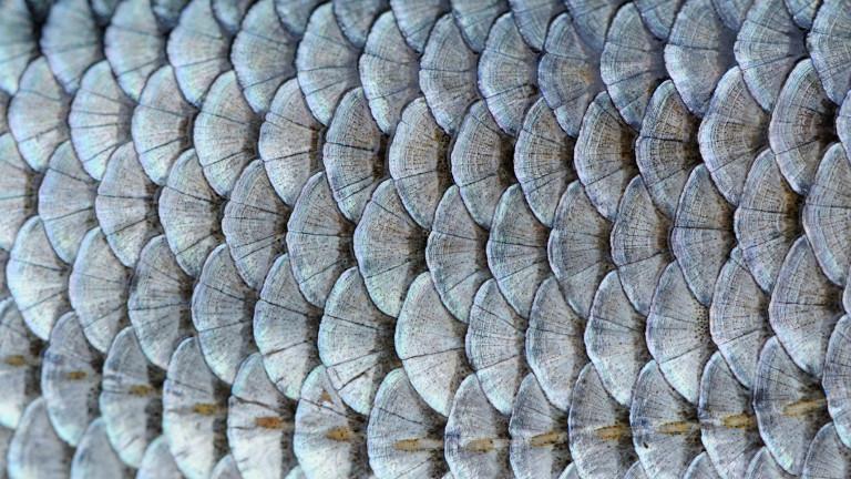 Почистването на цяла риба от люспите е необходимо, тъй като