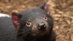За първи път от над 3000 години в Австралия се роди тасманийски дявол