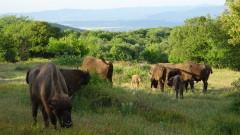 Второ зубърче се роди на свобода в Източните Родопи