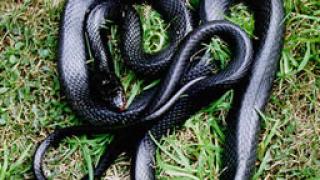 Колет с отровни змии засякоха белградски митничари
