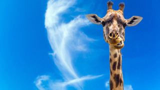 Първи случай на джуджета сред жирафите