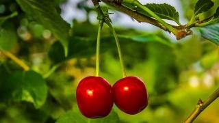 България има нереализиран потенциал за износ на череши, оценяван на $683 хил....