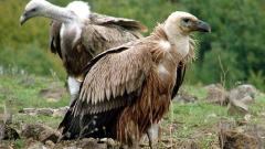 Увеличава се популацията на белоглави лешояди в Родопите