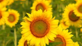 Цената на слънчогледовото семе скача