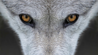 Защо съдбата на сивия вълк в САЩ е под въпрос