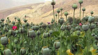 43% повече опиум от Афганистан очаква ООН тази година