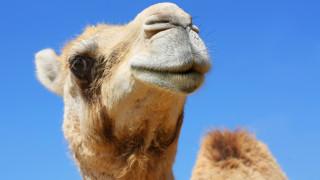 Участват ли камилите в конкурс за красота