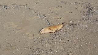 Открито е мъртво бебе делфинче на плаж в Шкорпиловци