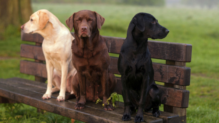 Как кучетата откриват болни от коронавирус с 95% точност
