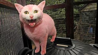 Жена боядиса котката си, за да й отива на косата