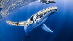 Защо китовете ядат пластмаса